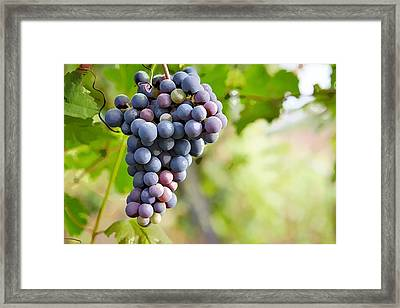Blue Grape Framed Print by Lanjee Chee