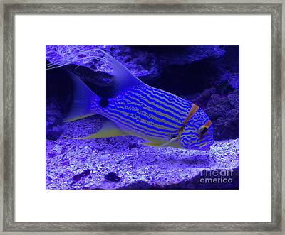 Blue Fish Groupie Framed Print by Richard W Linford