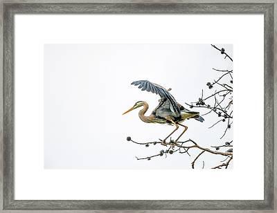Blue Heron 4 Framed Print by Leland D Howard