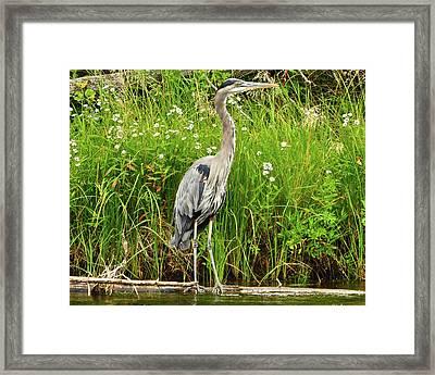 Blue Heron Framed Print by Greg Norrell