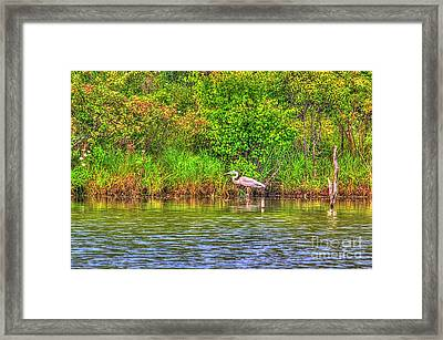 Blue Heron-in The Swamp-20 Framed Print by Robert Pearson