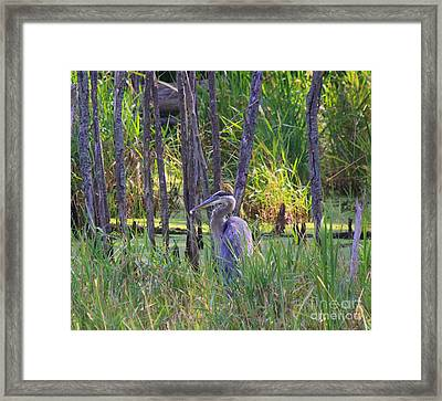 Blue Heron-in The Swamp Framed Print by Robert Pearson