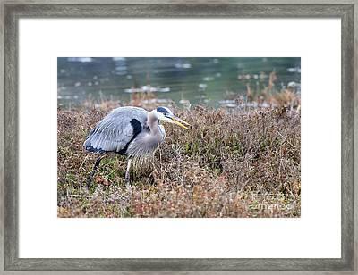 Blue Heron On The Hunt Framed Print by Eddie Yerkish