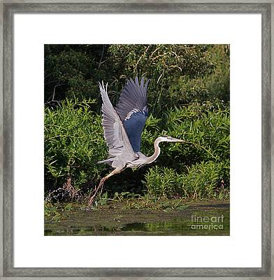 Blue Heron Framed Print by Robert Pearson