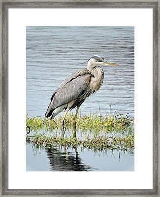 Blue Heron Framed Print by William Albanese Sr