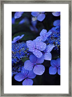 Blue Hydrangea Framed Print by Noah Cole