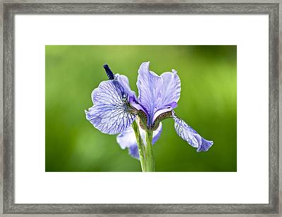 Blue Iris Germanica Framed Print by Frank Tschakert