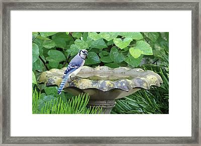 Blue Jay At The Birdbath Framed Print by Richard Rizzo