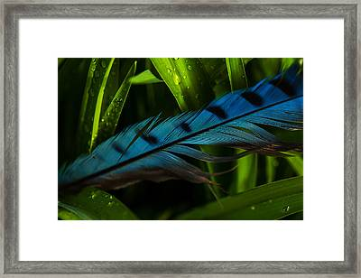 Blue Jay Feather Framed Print by Karol Livote