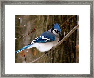 Blue Jay In The Snow Framed Print by Debra     Vatalaro