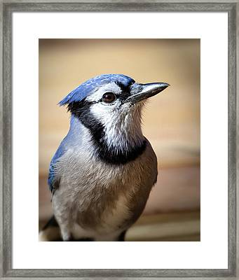 Blue Jay Portrait Framed Print by Al  Mueller