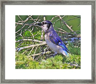 Blue Jay Framed Print by Robert Pearson
