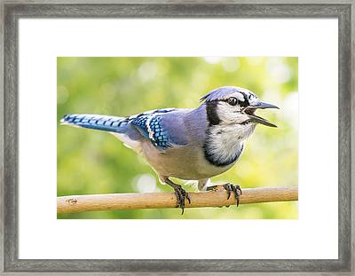 Blue Jay Sounding Off Framed Print by Jim Hughes