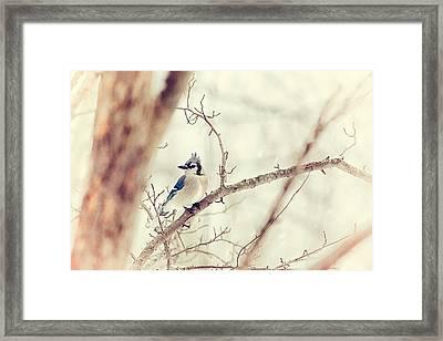 Blue Jay Winter Framed Print by Karol Livote