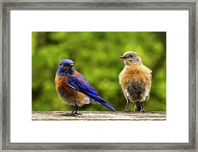 Bluebird Pair Framed Print by Jean Noren