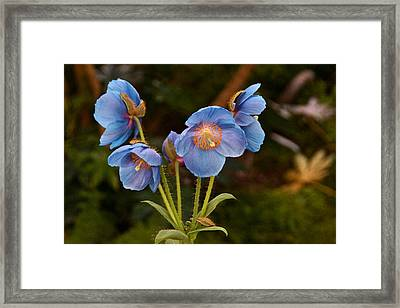 Blue Poppy Splendor Framed Print by Byron Varvarigos