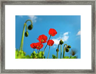 Blue Sky And Poppies Framed Print by Tamyra Ayles