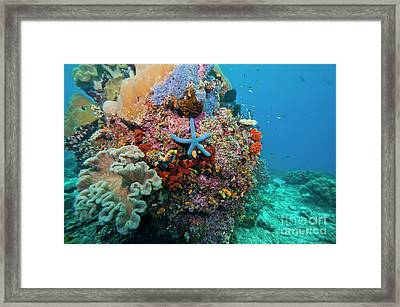 Blue Starfish On Coral Reef, Raja Framed Print by Beverly Factor