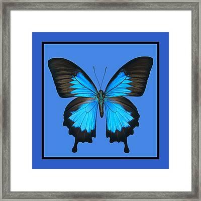 Blue Swallowtail Butterfly Framed Print by Lisbet Sjoberg