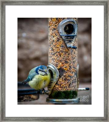 Blue Tit Framed Print by Adrian Evans
