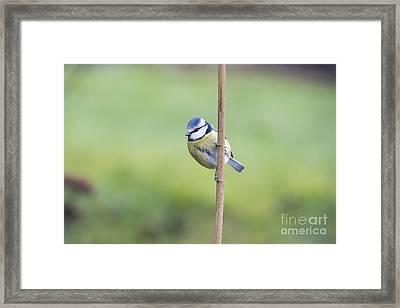 Blue Tit On A Garden Cane Framed Print by Tim Gainey