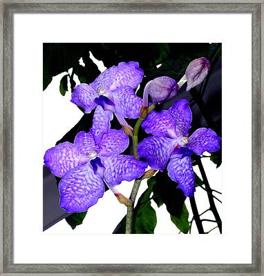 Blue Violet Orchids Framed Print by Mindy Newman
