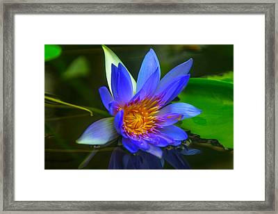 Blue Waterlily In Pond Framed Print by Garry Gay
