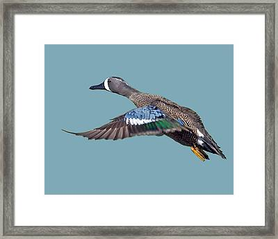 Blue-winged Teal Framed Print by Larry Linton