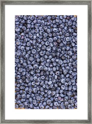 Blueberry Harvest Framed Print by Tim Gainey