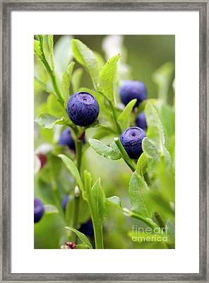 Blueberry Shrubs Framed Print by Michal Boubin