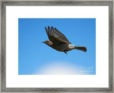 Bluebird Glide Framed Print by Mike Dawson