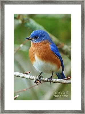 Bluebird On Branch Framed Print by Crystal Joy Photography