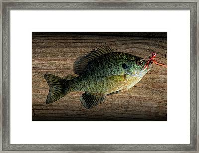 Bluegill Panfish Caught With A Jig Framed Print by Randall Nyhof