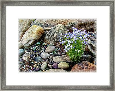 Bluets Among The River Rocks Framed Print by Carolyn Derstine