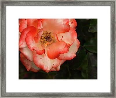 Blushing Rose Framed Print by Jean Noren