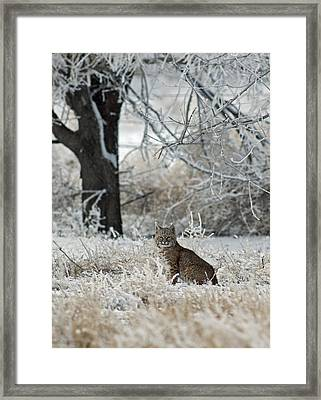 Bobcat And Heavy Frost Framed Print by Gary Langley