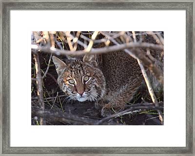 Bobcat Framed Print by Bruce J Robinson