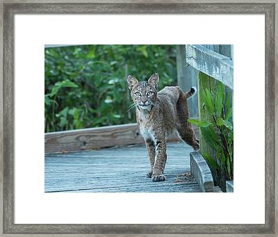 Bobcat Encounter Framed Print by MCM Photography