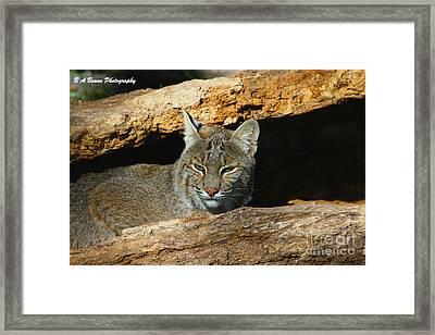 Bobcat Hiding In A Log Framed Print by Barbara Bowen