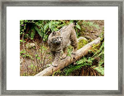 Bobcat In Forest Framed Print by Teri Virbickis