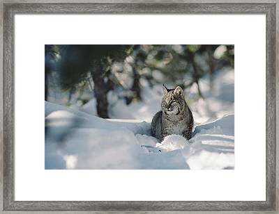 Bobcat Lynx Rufus Adult Resting In Snow Framed Print by Michael Quinton