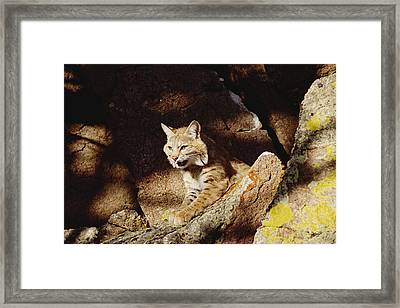 Bobcat Lynx Rufus Portrait On Rock Framed Print by Gerry Ellis