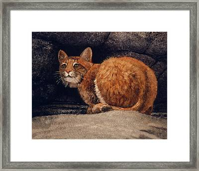Bobcat On Ledge Framed Print by Frank Wilson