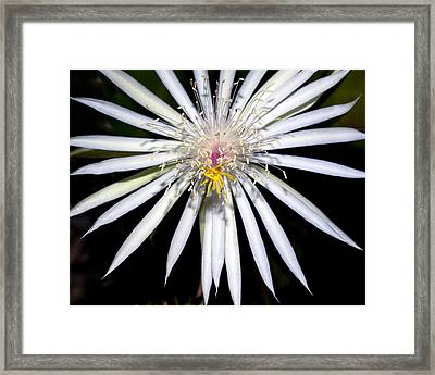 Bold Cactus Flower Framed Print by Kelley King