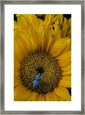 Boll Weevil On Sunflower Framed Print by Garry Gay
