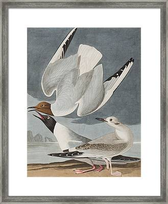 Bonapartian Gull Framed Print by John James Audubon