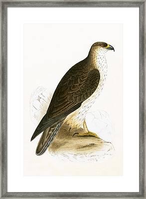 Bonelli's Eagle Framed Print by English School