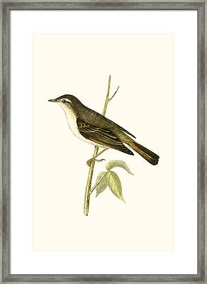 Bonelli's Warbler Framed Print by English School