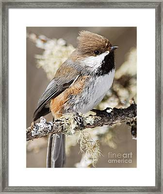 Boreal Chickadee Framed Print by Larry Ricker
