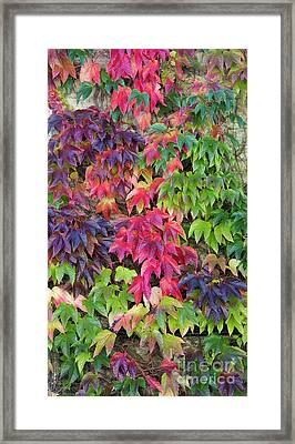 Boston Ivy In The Fall Framed Print by Tim Gainey